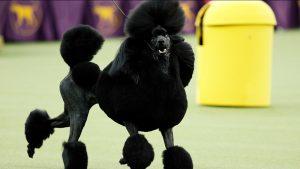Các giống chó Poodle được yêu thích hiện nay