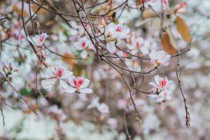 Kinh nghiệm du lịch mùa hoa ban Tây Bắc từ A-Z